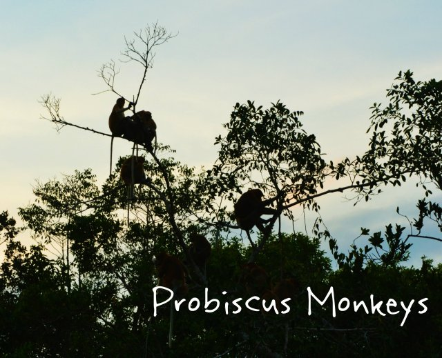probiscus monkeys